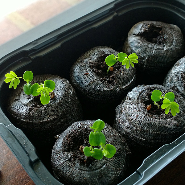 plantes-zombies