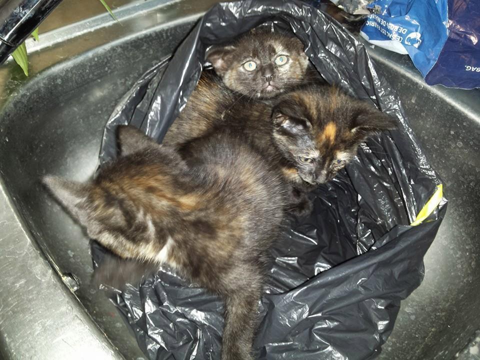 4 chatons abandonnés dans un sac poubelle pour adoption